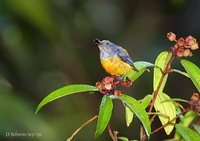 Orange-bellied Flowerpecker - Dicaeum trigonostigma