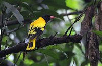 Black-hooded Oriole - Oriolus xanthornus