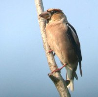 Hawfinch - Coccothraustes coccothraustes
