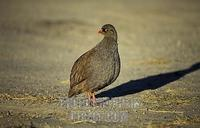 Red billed spurfowl , Pternistes adspersus , Hwange National Park , Zimbabwe stock photo