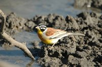 : Emberiza flaviventris; Golden-breasted Bunting