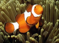 Amphiprion percula, Orange clownfish: aquarium