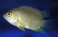 Pristolepis marginata, Malabar leaffish: fisheries, aquarium