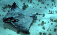 Myliobatis tenuicaudatus, New Zealand eagle ray: fisheries