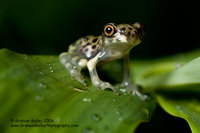 Juveinile Tree Frog - Hyla sp.