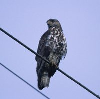 Mountain Buzzard - Buteo oreophilus