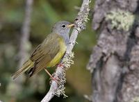 Connecticut Warbler (Oporornis agilis) photo