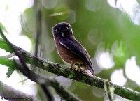 Jungle Hawk-Owl - Ninox theomacha