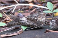 Blackish Nightjar - Caprimulgus nigrescens