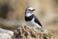 White-fronted Chat - Epthianura albifrons