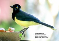 Plush-crested Jay - Cyanocorax chrysops