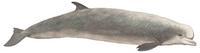 suedlicher-entenwal-hyperoodon-planifrons.jpg