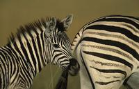 Burchell's Zebra, Equus burchelli, Mother and foal, Midmar Game Reserve, South Africa (25895)