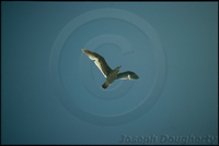 : Larus californicus; California Gull
