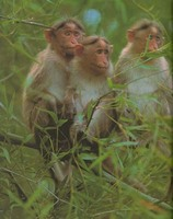photograph of Bonnet macaques : Macaca radiata