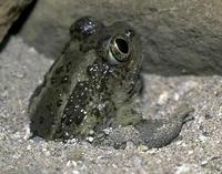Image of: Spea intermontana (Great Basin spadefoot)