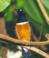 Image of: Lamprotornis superbus (superb starling)