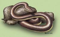 Image of: Loxocemus bicolor (Mexican burrowing pythons)