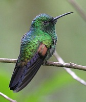 Stripe-tailed Hummingbird - Eupherusa eximia