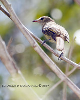 Black-whiskered Vireo - Vireo altiloquus