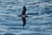 Aberrantly plumaged Petrel