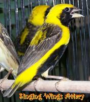 Yellow Bishop Weaver