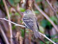 Alder Flycatcher on Roan Mountain (6-1-02)-1.jpg