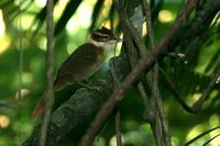 White-collared  foliage-gleaner   -   Anabazenops  fuscus   -