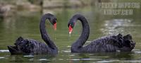 ...Australian Black Swans forming a heart shape with their necks , Marwell Zoo , Hampshire , Englan