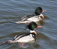 Red- Breasted Mergansers (Mergus serrator)