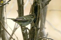 Fig. 6. Yellow-browed Warbler : 노랑눈썹솔새