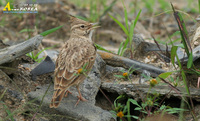 Fig. 6. Crested Lark : 뿔종다리