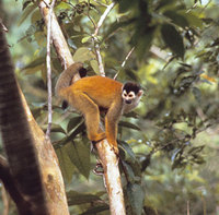 Red-backed squirrel monkey (Saimiri oerstedti oerstedti)