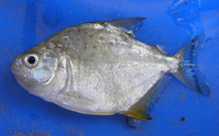 Serrasalmus spilopleura, Speckled piranha: fisheries, aquarium