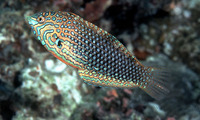 Macropharyngodon ornatus, False leopard: aquarium
