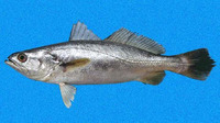 Cynoscion squamipinnis, Weakfish: fisheries
