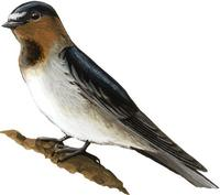 Image of: Petrochelidon pyrrhonota (cliff swallow)