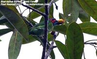 Blue-eared Barbet - Megalaima australis