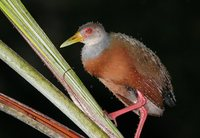 Gray-necked Wood-Rail - Aramides cajanea