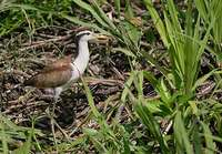 Wattled Jacana (Jacana jacana) photo