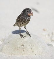 Large Ground-Finch (Geospiza magnirostris) photo