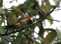 Crimson-mantled Woodpecker - Piculus rivolii