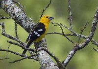 Golden-bellied Grosbeak - Pheucticus chrysogaster