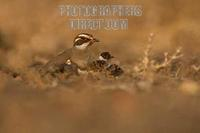 Bronze winged courser and chicks sitting on nest stock photo