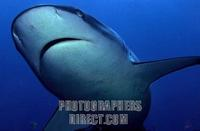 Gray reef shark Carcharhinus amblyrhynchos , Maledives , Indian Ocean stock photo