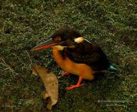 Blue-banded Kingfisher (fem.)