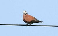 184 홍비둘기 Red-collared Dove
