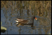 : Gallinula chloropus; Common Moorhen (gallinule)