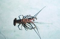 Panulirus marginatus - Banded spiny lobster