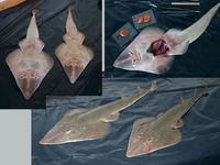 Rhinobatos percellens, Chola guitarfish: fisheries, aquarium